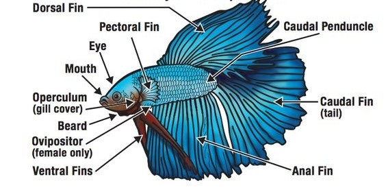 Betta Fish Anatomy | Betta Fish World
