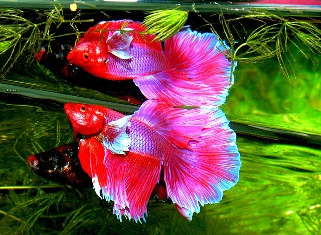 Top Betta Fish FAQ Explained