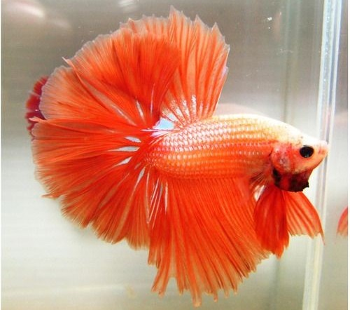 Rare Types of Betta fish