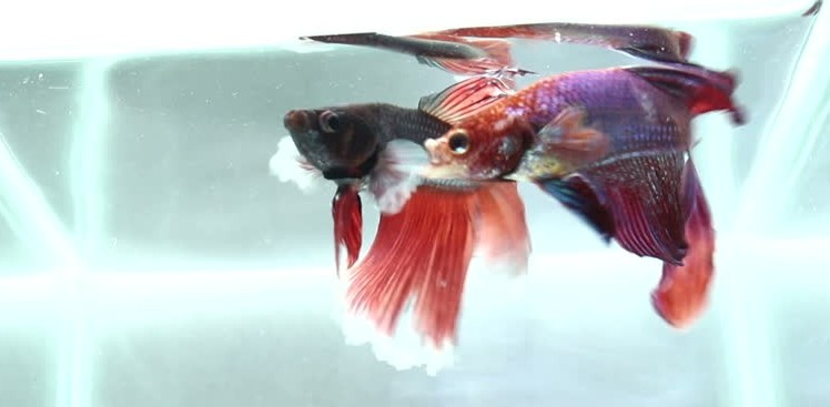 Why Betta loves to fight?
