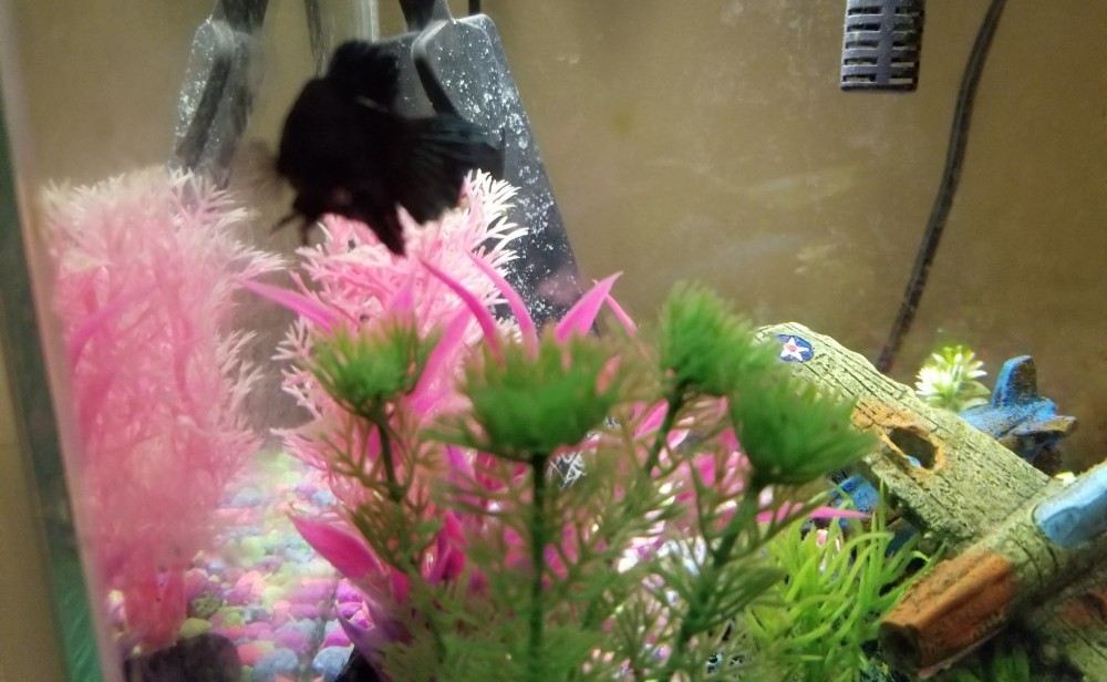 my betta fish relaxing on my artificial plants