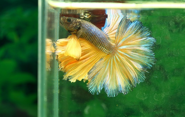 Why Do Betta Fish Fight?