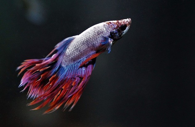 Can betta fish see in the dark?