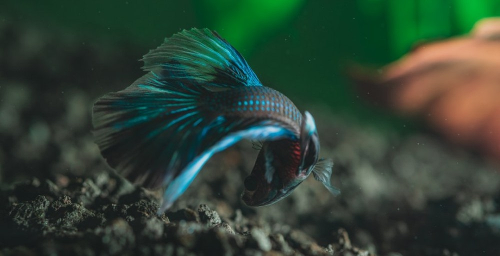 curious betta fish poking around