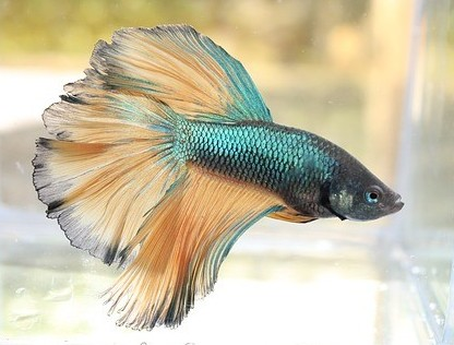 Are betta fish smart?