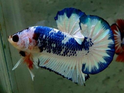 Betta Fish Behavior: Happy, Sad or Sick?