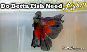 do betta fish need light