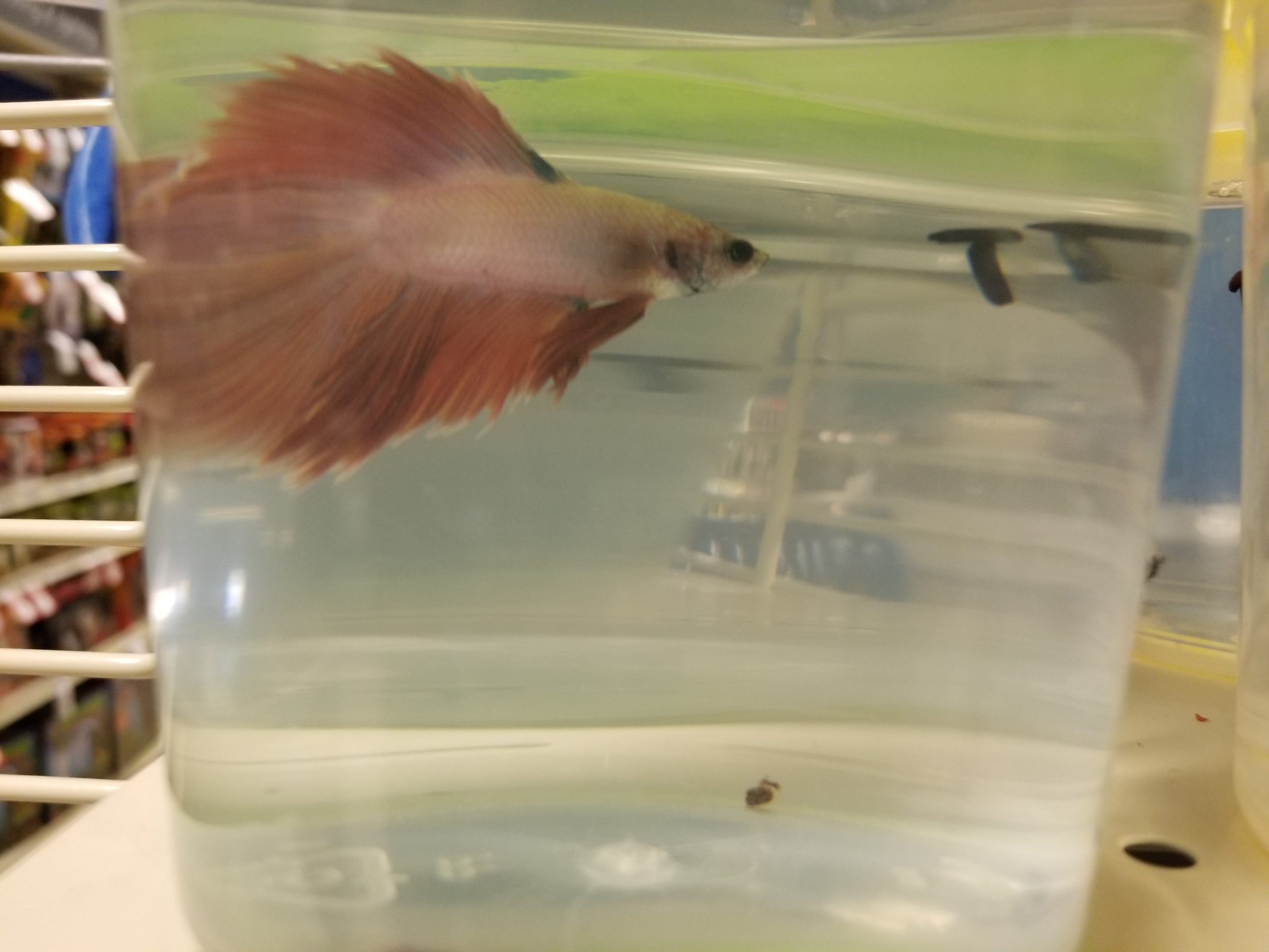 betta fish on a cup