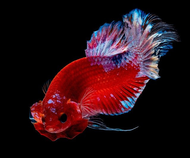 Why Does Betta Fish Flare? What Causes It