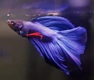 Why is My Betta Fish Not Eating? What Are the Signs?