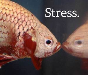 How Can You Tell If a Betta Fish Is Stressed Out?