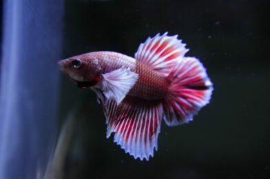 Will My Betta Breed When Other Fish Are Present in the Tank?